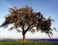 fleißiger Apfelbaum