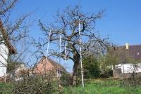 Apfelbaum ausgelichtet