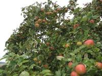 Fruchtast