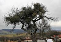 Apfelbaum mit übervollem, schwächendem Mistelbesatz