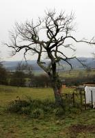 Mistel-Apfelbaum nach dem Schnitt