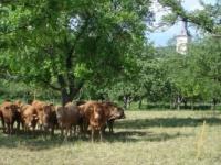 es gibt sie noch: glückliche Kühe