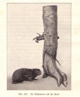 Wühlmaus 1891